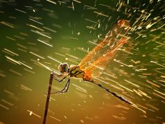 Dragonfly. Photo courtesy of National Geographic.
